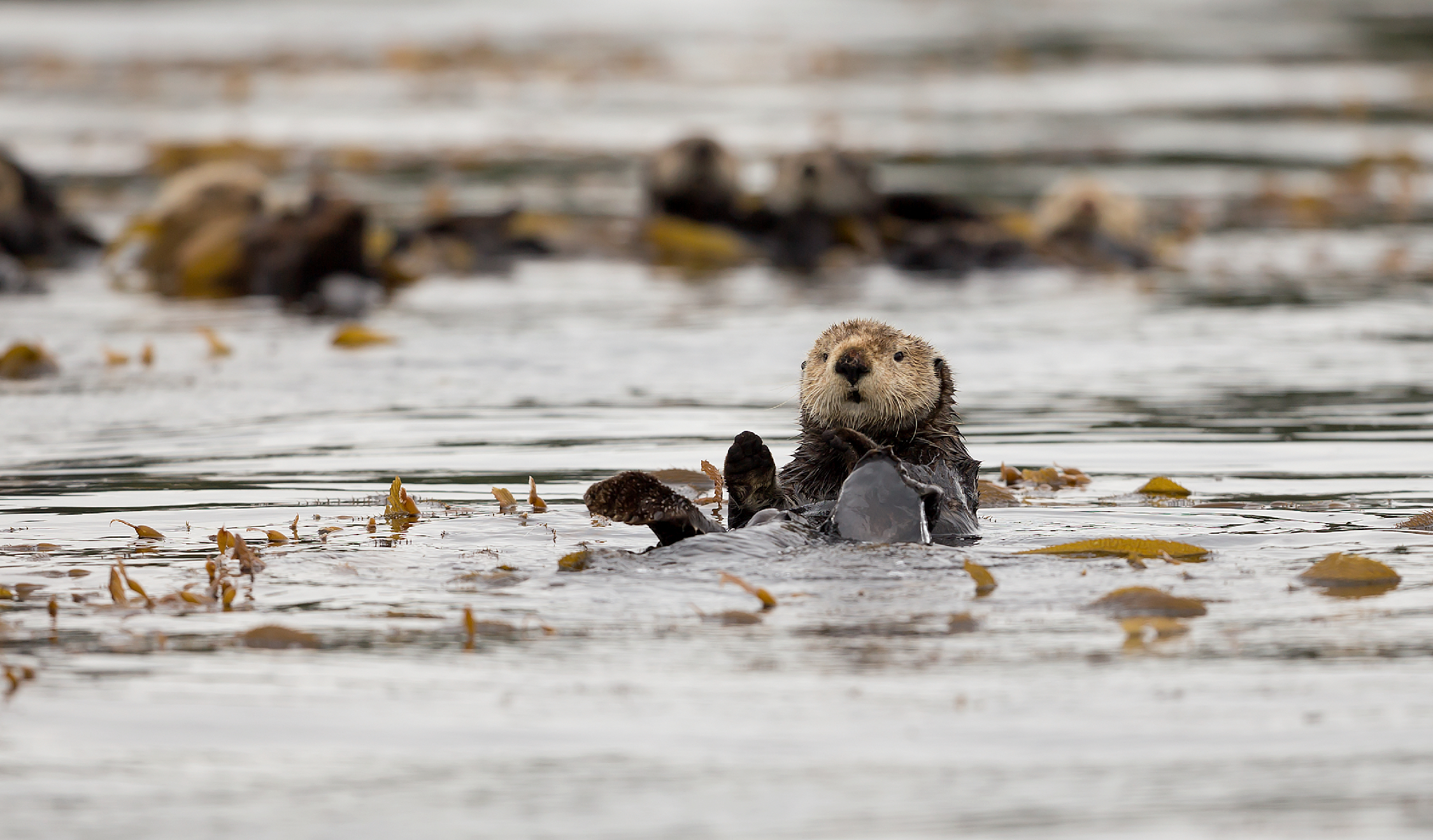 Sea Otter near Spring Island by Kyuquot Sound在春天海岛附近的海獭由Kyuquot声音